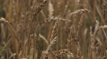 Spikelets of Wheat in Rain Weather. Yellow Wheat Field Wind Close Up. Slow Motion. Agriculture, Farming, Cereal.