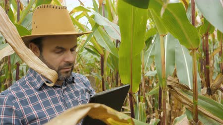 examining : Man Walking Through Cornfield Thicket. Organic Farmer Looking At Sweetcorn In Field. Farmer Inspecting Years maize or Sweet Corn Harvest. Organic Ferma. Stock Footage
