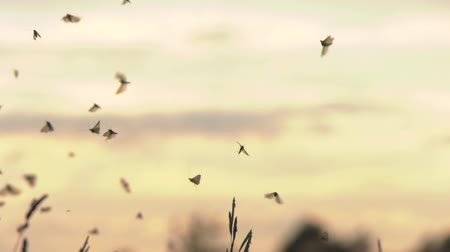 urania : Moths in the sunset background Stock Footage
