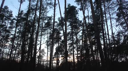 dull : Dark forest dusk Stock Footage