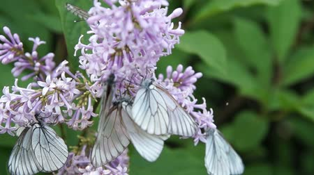 purple veins : Butterfly on lilac