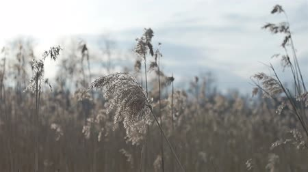 száraz : Dry grass in spring or autumn filmed in motion slider HD