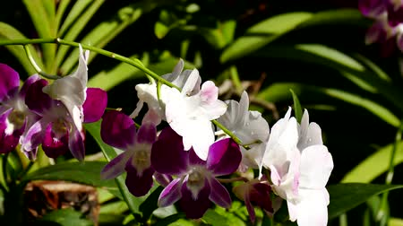 fuksja : Beautiful Orchid flowers blooming in the garden. Wideo