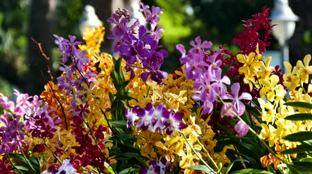 büyüyen : Beautiful Orchid flowers blooming in the garden. Stok Video