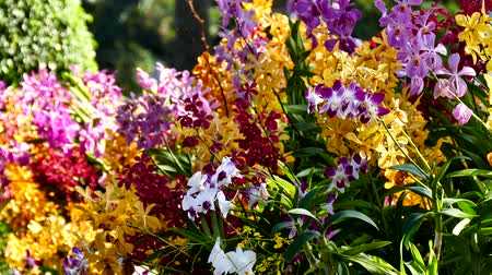orchideák : Beautiful Orchid flowers blooming in the garden. Stock mozgókép