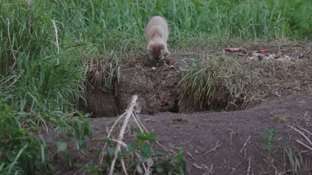 animals in the wild : Littele fox hole calls her brother
