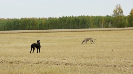 fotokopi makinesi : Two Greyhound walking in the field Stok Video