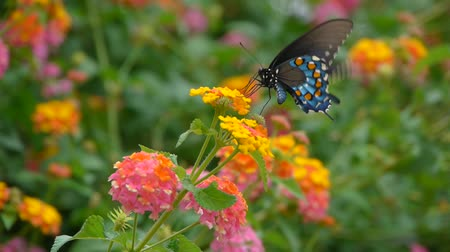 gracioso : CU shot of a blue, black, and orange-spotted butterfly on pink and yellow flowers collecting nectar.
