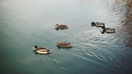 migratory birds : Ducks on the crystal clear water