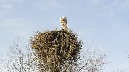 fészek : stork in its nest Stock mozgókép