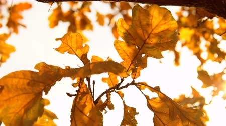 cserjés : Yellow dry oak leaves waving in the wind against a clear sky in golden autumn, closeup