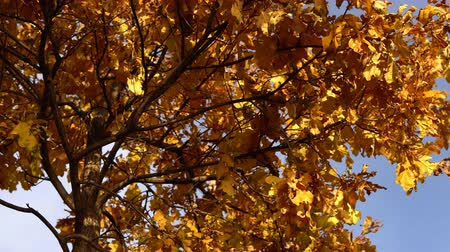 dead forest : Yellow dry oak leaves sway in the wind against the blue clear sky in the golden autumn.