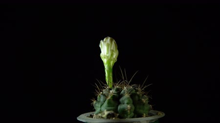 etli : Green cactus with sharp needles and flower bud rotates on dark background, looped shot, 4K.