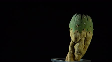 peyote : Peyote green cactus rotates on dark background, looped shot, 4K.