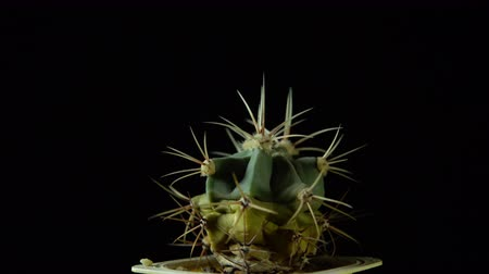 etli : Green cactus with sharp needles rotates on dark background, looped shot, 4K. Stok Video