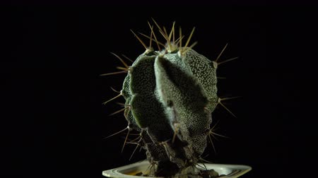 houseplant : Green cactus with sharp needles rotates on dark background, looped shot, 4K. Stock Footage