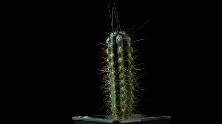houseplant : Green cactus with sharp needles rotates on dark background, Stock Footage