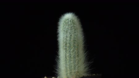 houseplant : Green cactus with sharp thin needles rotates on dark background, looped shot, 4K.