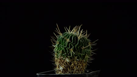etli : Green cactus with sharp needles rotates on dark background, Stok Video
