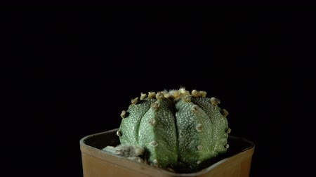 etli : Green cactus rotates on dark background, looped shot, 4K.