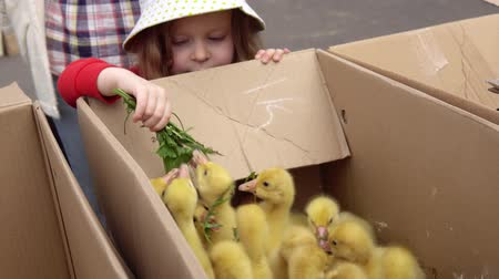 bird learning : A little sweet girl feeds the yellow chicks with green dandelion leaves. Small geese peek out of the box and pluck the grass.