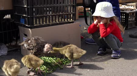 patinho : A little sweet girl watches the nestlings, small turkeys and goslings that eat dandelion leaves.