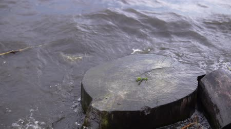 snag : Large waves wash the dark stump on the shore of the reservoir, slow-motion shooting. The plant sprouts in the center of the old log. Stock Footage