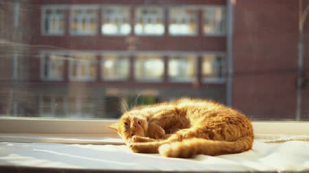 ronronar : A ginger cat sleeps on a white windowsill in the sunbeams. A pet enjoys the warmth of the sun, behind a glass a blurry brick office building. Stock Footage