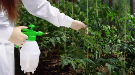 окропляет : A young woman in a white robe and gloves sprinkles plants with a special solution for prevention and control of agricultural pests, viral and bacterial diseases of tomatoes, close-up.