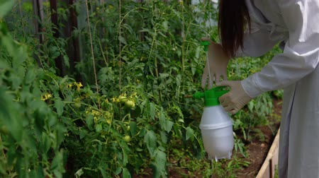 деревце : A young woman in a white robe and gloves sprinkles plants with a special solution for prevention and control of agricultural pests, viral and bacterial diseases of tomatoes, close-up.