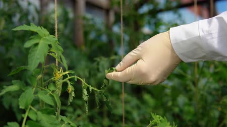 jardinero : A young woman in a white robe and gloves sprinkles plants with a special solution for prevention and control of agricultural pests, viral and bacterial diseases of tomatoes, close-up.
