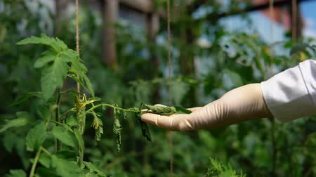 jardinero : A hand in a white glove holds a withering leaf, a tomato quality control, identification of pests, viral and bacterial diseases, close-up