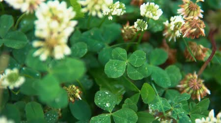 jetel : Water drops fall on an amazing green four-leaf clover growing on a meadow among white flowers, a symbol of luck.
