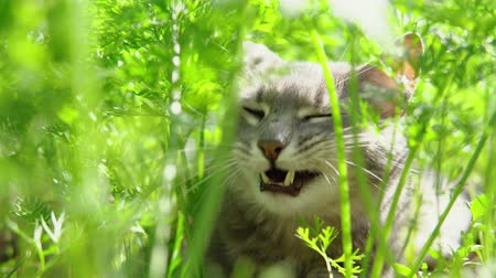 tlapky : A gray cat with green eyes lies among the grown green carrots and enjoys a warm day. Dostupné videozáznamy
