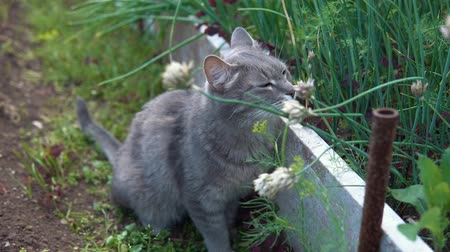 tlapky : A gray cat with green eyes walks in the garden among green onions and herbs and enjoys a warm day.