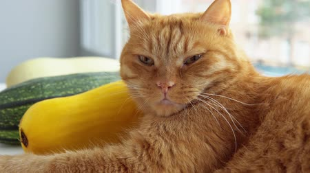 vegetable marrows : Ginger tabby cat lies on the windowsill near colorful vegetable marrows. Stock Footage