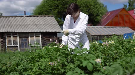 floração : A female lab assistant in a white coat studies the growth of potato varieties on the experimental territory of the agro-industrial complex.