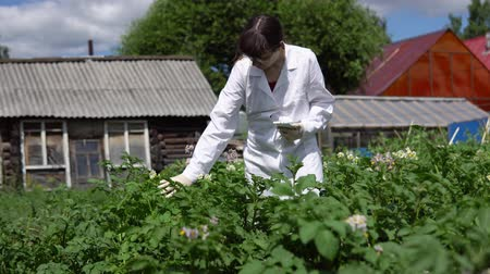 inspektor : A female lab assistant in a white coat studies the growth of potato varieties on the experimental territory of the agro-industrial complex.