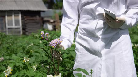 éretlen : A female lab assistant in a white coat studies the growth of potato varieties on the experimental territory of the agro-industrial complex.