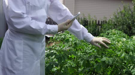 agro : A female lab assistant in a white coat studies the growth of potato varieties on the experimental territory of the agro-industrial complex.