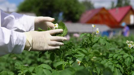 girmek : A female lab assistant in a white coat studies the growth of potato varieties on the experimental territory of the agro-industrial complex.
