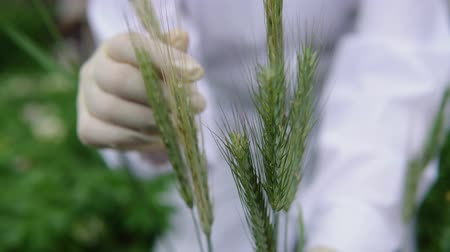 éretlen : A female lab assistant in white gloves holds a green spike and checks the plant for disease a smut, close-up.