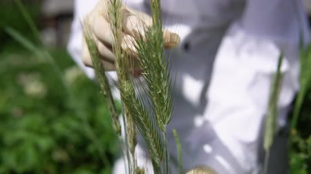 inspektor : A female lab assistant in white gloves holds a green spike and checks the plant for disease a smut, close-up.