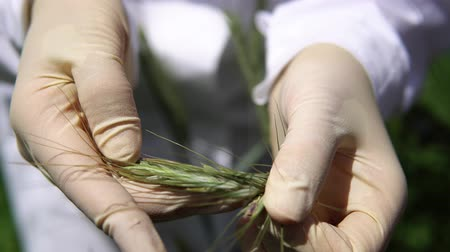 maszat : A female lab assistant in white gloves holds a green spike and checks the plant for disease a smut, close-up.