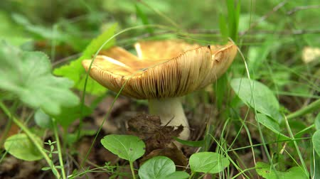 musgo : Large beige edible mushroom, russula foetens growing among the grass in the forest. Vídeos
