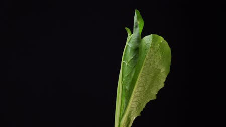 培養液 : Green lettuce leaves turn on a black background, , seamless looping.