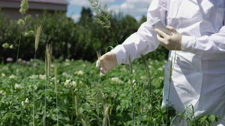 nezralý : A female lab assistant in white gloves holds a green spike and checks the plant for disease a smut, close-up.