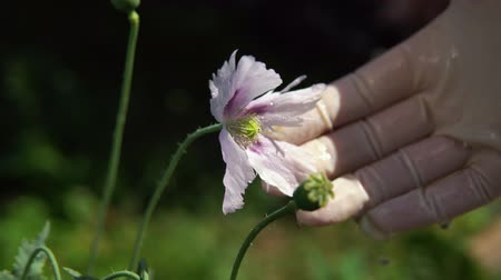 éretlen : The female hand in the glove holds the fruit, the petals fall from the immature poppy capsules, close-up. Stock mozgókép
