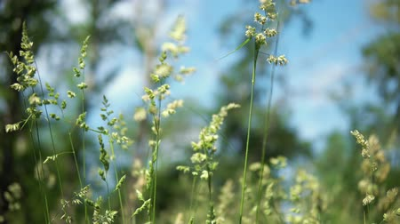 fennel : Abstract creative background of a bright green blooming grass against a blue sky background on a sunny day in a meadow.
