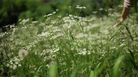 сорняки : Female hand touches long stems of green grass and blooming yarrow in a sunny day on a meadow.